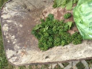 Grüne geerntete Trauben
